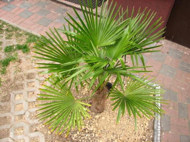 Własna palma w ogrodzie