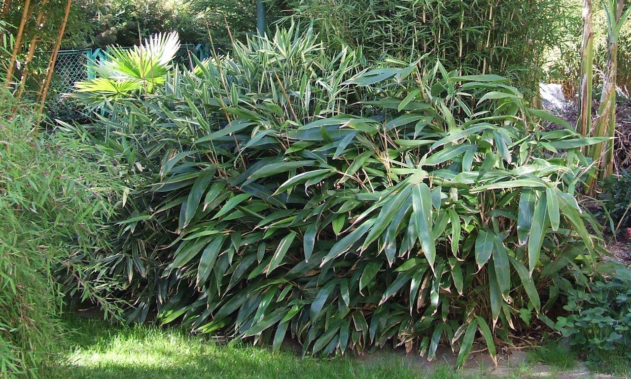 mrozoodporny bambus Indocalamus tessellatus