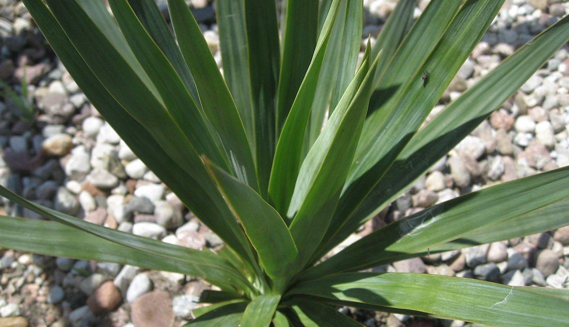 mrozoodporna yucca gloriosa