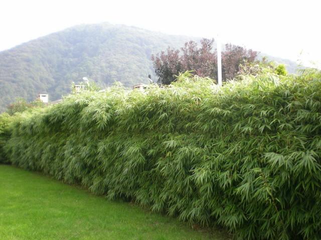 Fargesia rufa. Źródło: www.bambuswald.de