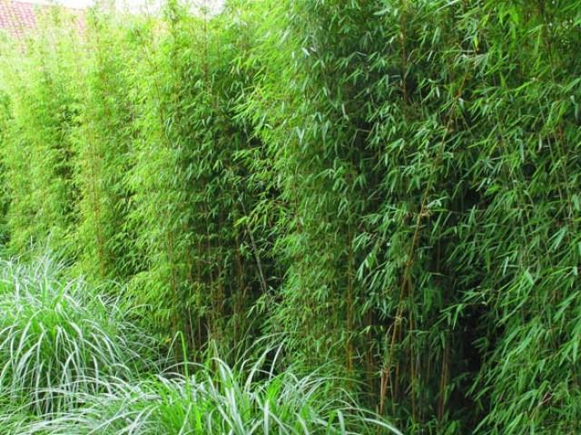Fargesia jiuzhaigou. Źródło: www.kimmei.com